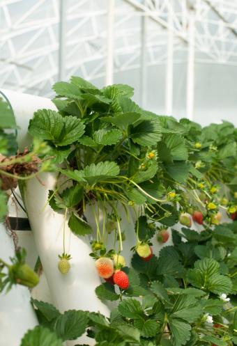 hydroponic tower with strawbwerries