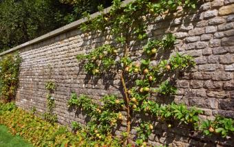 tall garden wall with apple tree