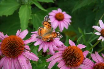 butterfly feeding on purple coneflower