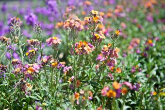 wallflower variety