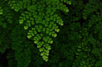 maidenhair fern in shade