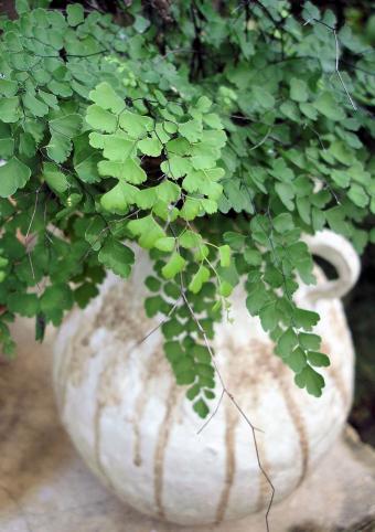 potted maidenhair fern