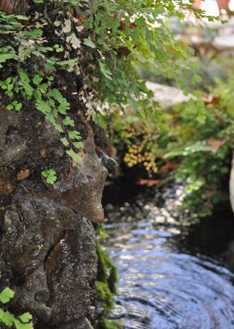 maidenhair fern growing on rocks