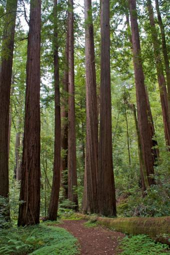 coast redwoods with groundcover