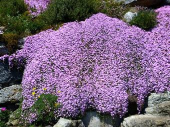 purple flowering ice plant
