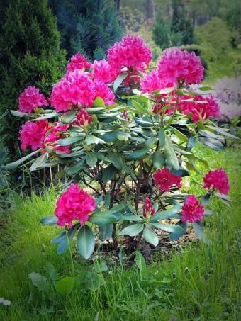 rhododedndron in flower