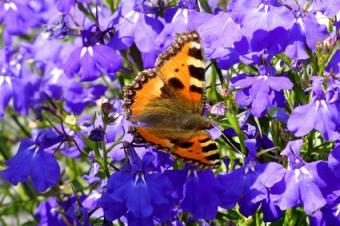 purple annual lobelia