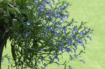 lobelia cascading from planter