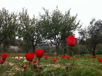 poppy anemone among trees