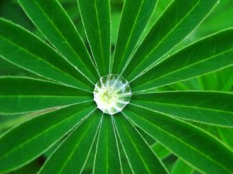 palmate lupine foliage