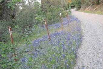 lupine wildflower planting