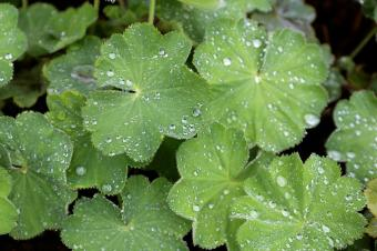 alchemilla water droplets