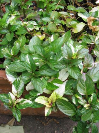variegated mint