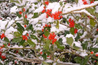 ilex with snow