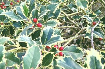variegated holly leaves