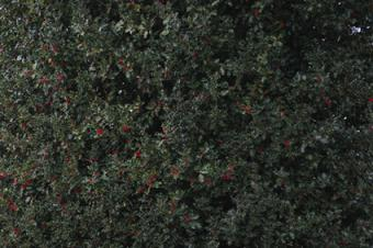evergreen holly screen