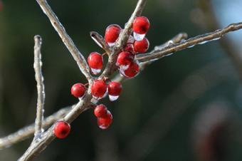 leafless holly bush