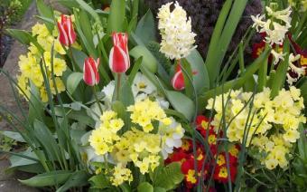 primrose with spring bulbs