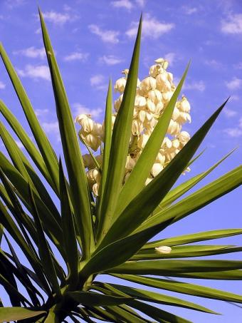 yucca canopy