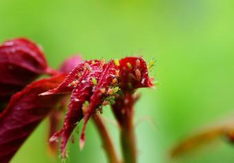 rose pests