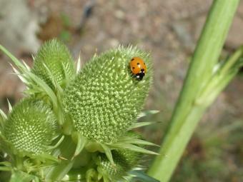 sea holly with ladybug