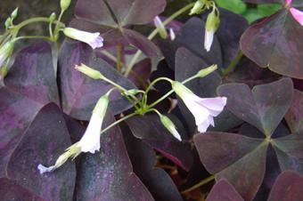 purple leaf shamrock