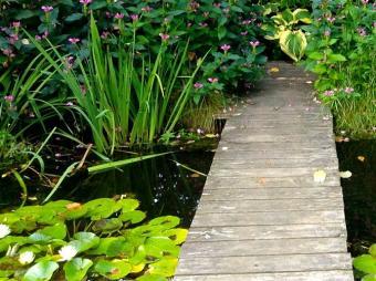 lilies in water garden