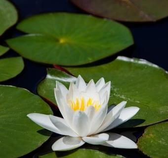 water lily cultivar