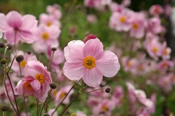 anenome flower