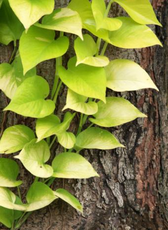 pothos growing on a tree