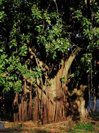 Rubber Tree Plants