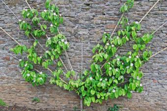 Fan pear tree
