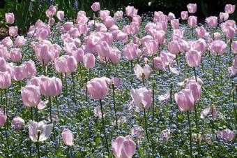 tulips and forget-me-not