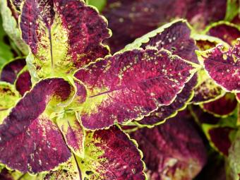 colorful leaves of coleus plant