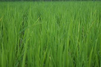Rice Plants