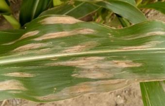 Corn Leaf Blight