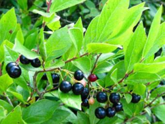 Black huckleberry