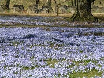 carpet of scilla flowers