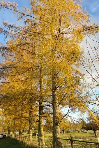 Larch trees in a row