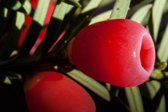 yew-berry.jpg