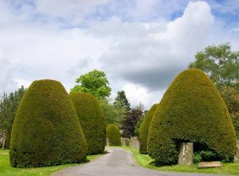 yew topiary shrubs