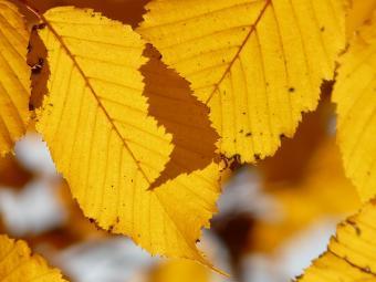 beech autumn color