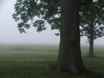 pecan shade tree