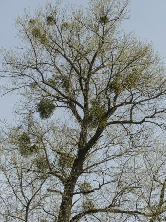 parasitic mistletoe