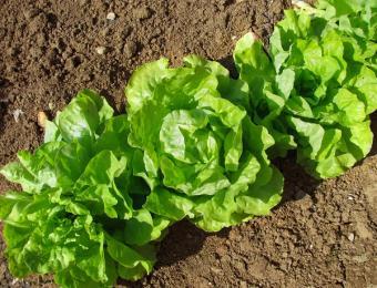 appropriate lettuce spacing