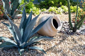 Agave in garden