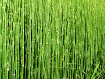 horsetail hedge