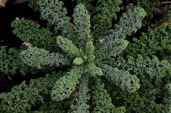 kale plant