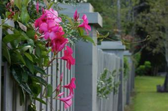 mandevilla on fence