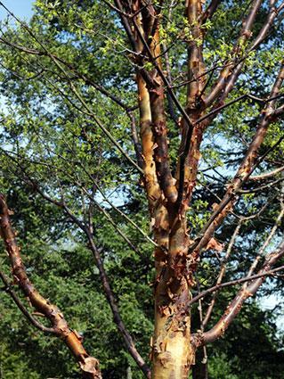 Paperbark maple tree